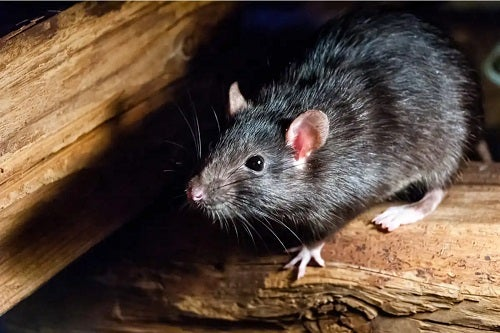 Poți să visezi șobolani