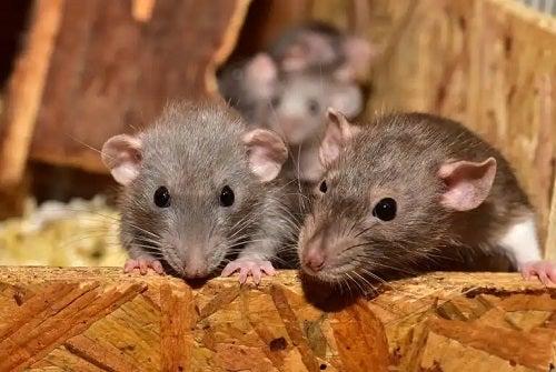 Ce înseamnă să visezi șobolani?